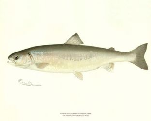 Trout, Sunapee or American Saibling (Female)